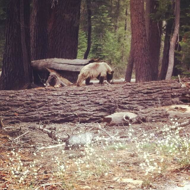 Black Bear in Yosemite
