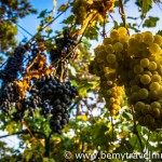 grapes in italy