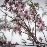 cherry blossoms vietnam