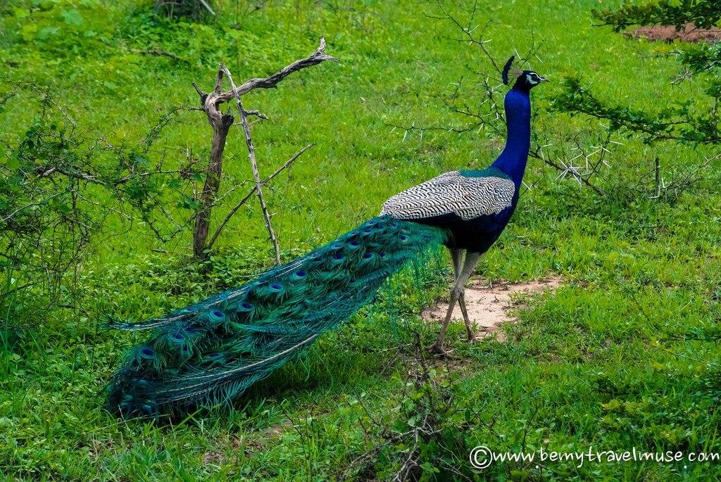 sri lankan peacock
