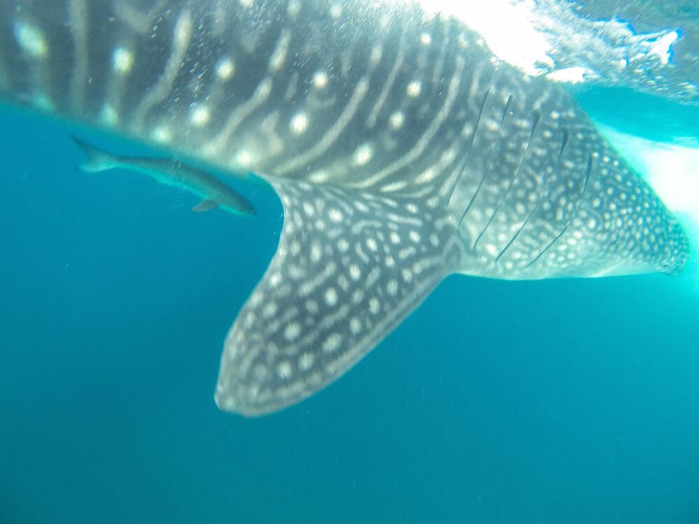 whale shark mozambique