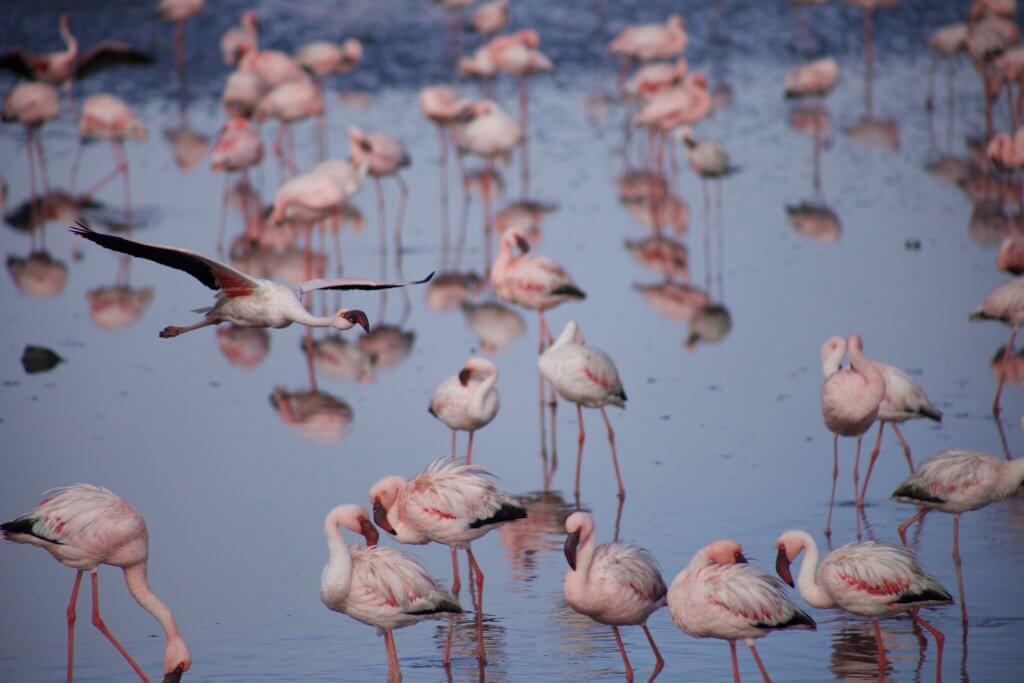Walvis Bay Flamingos