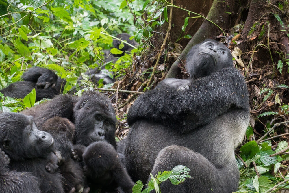how to go gorilla trekking in uganda