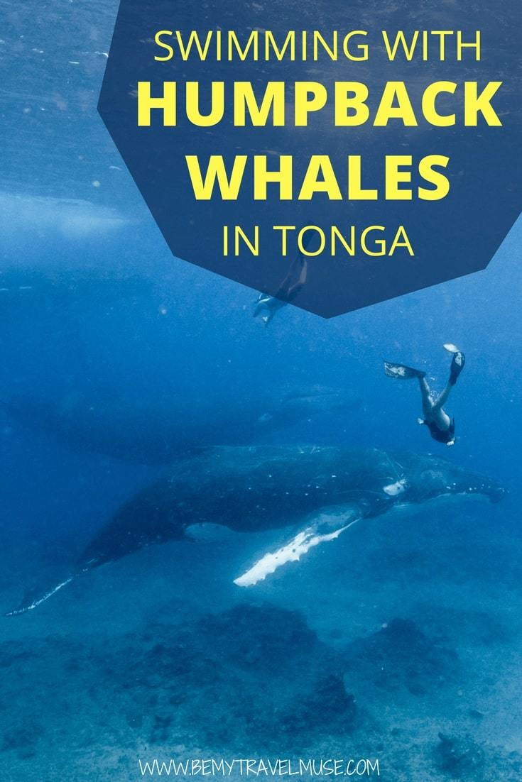 """Finally checked """"swimming with humpback whales"""" off my adventurous travel bucket list! This post is full of photos and my attempt to describe my experience swimming with the humpback whales in Tonga #HumpbackWhales #Tonga #Freediving"""