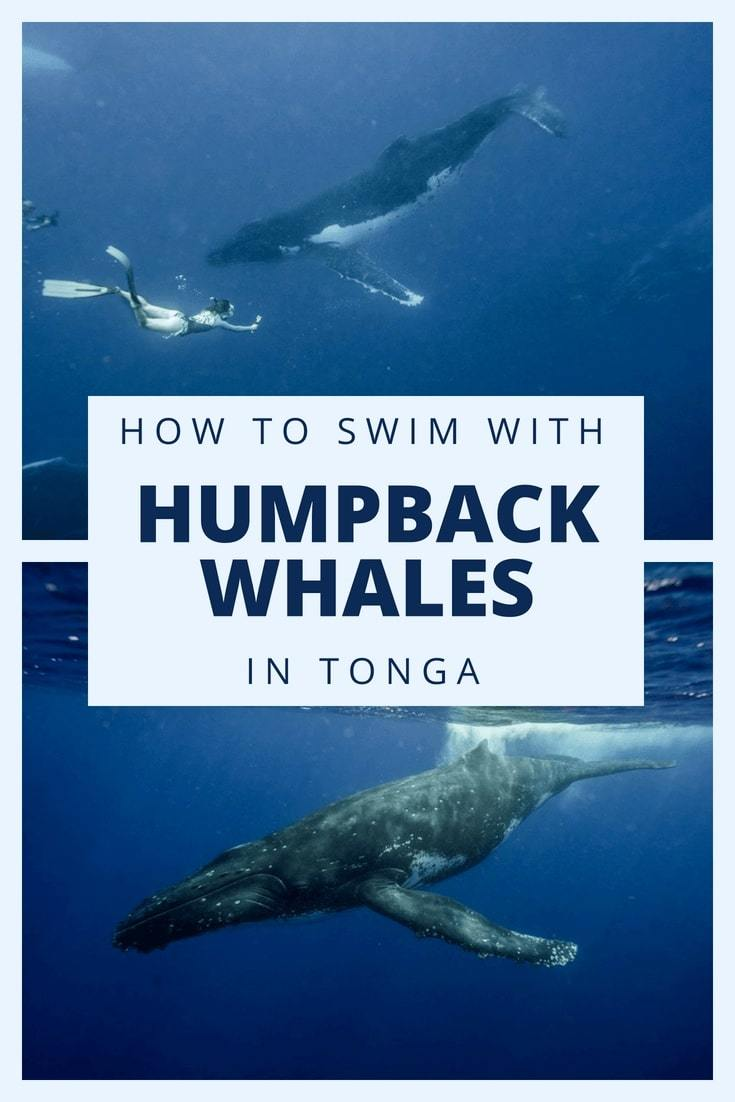 Here's everything you need to know about swimming with the humpback whales in Tonga. Tips on when to book your trip, how to prepare for it, and a complete packing list are all included #BucketlistTravel #TongaTravelTips