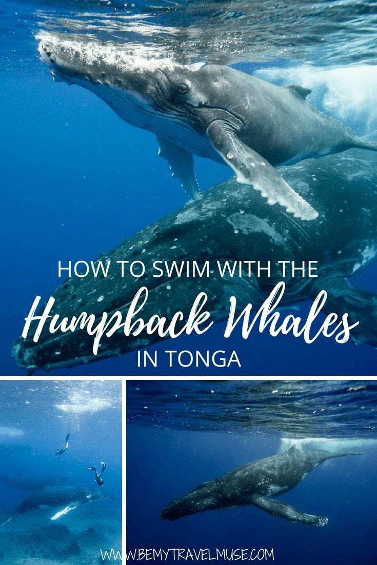 Have you ever wondered how it feels to swim with humpback whales in their natural habitat? My recent freediving trip to Tonga helped me checked this off the bucket list. No words can explain the experience, but I am going to try anyway. #HumpbackWhales #Tonga #BucketListTravel