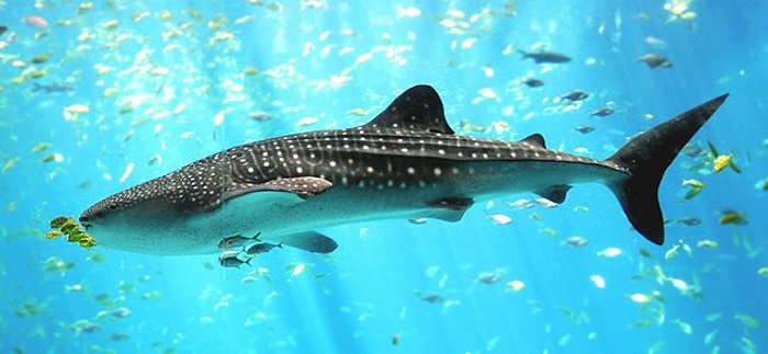 where to swim with whale sharks-4