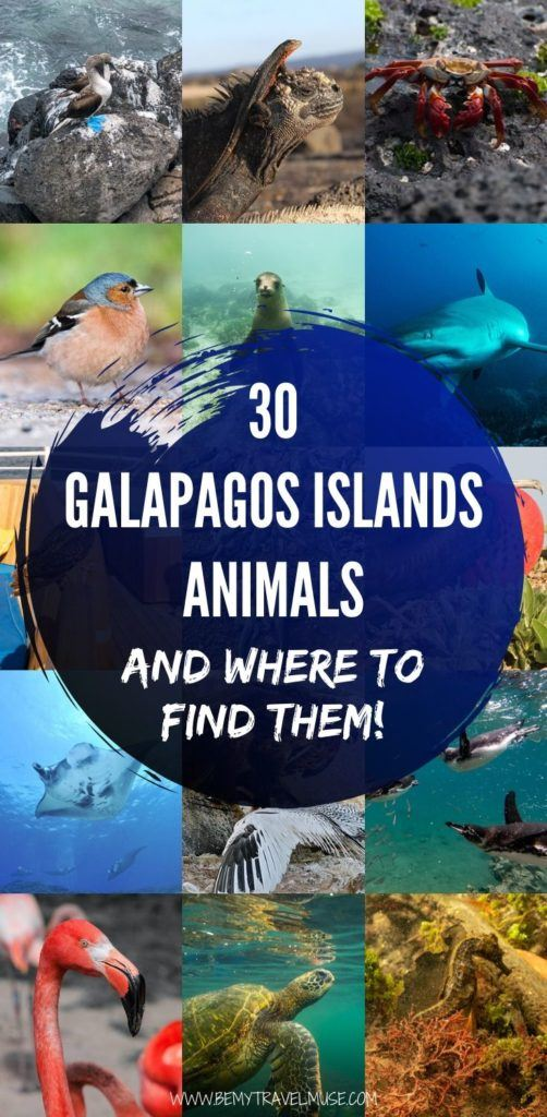 The abundance of animals on the Galapagos Islands will blow your mind! Here are 30 peculiar, beautiful animals on the Galapagos Islands, and a complete guide to finding them! If you love wildlife, this is perfect for you. #Galapagos