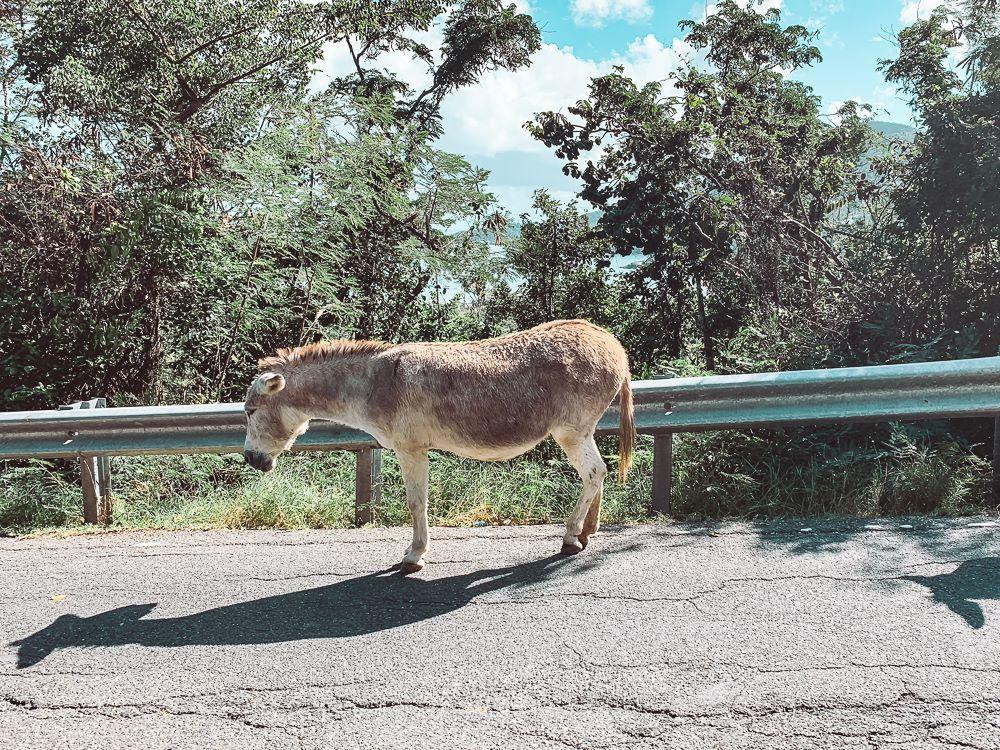 resident donkey standing along centerline road in virgin islands national park