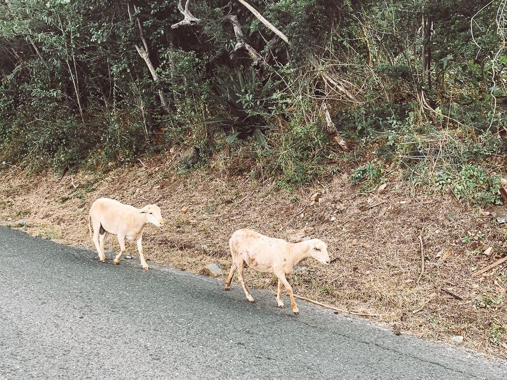 Two little goats walking along centerline road in virgin islands national park