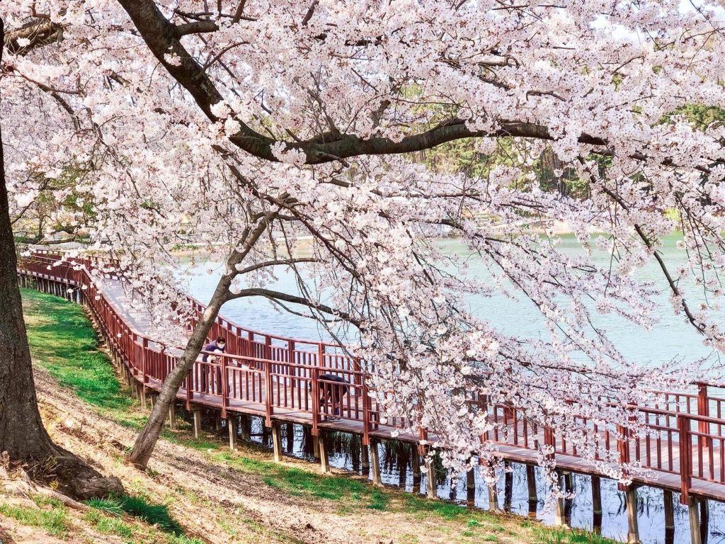 Cherry blossoms in Gunsan, South Korea