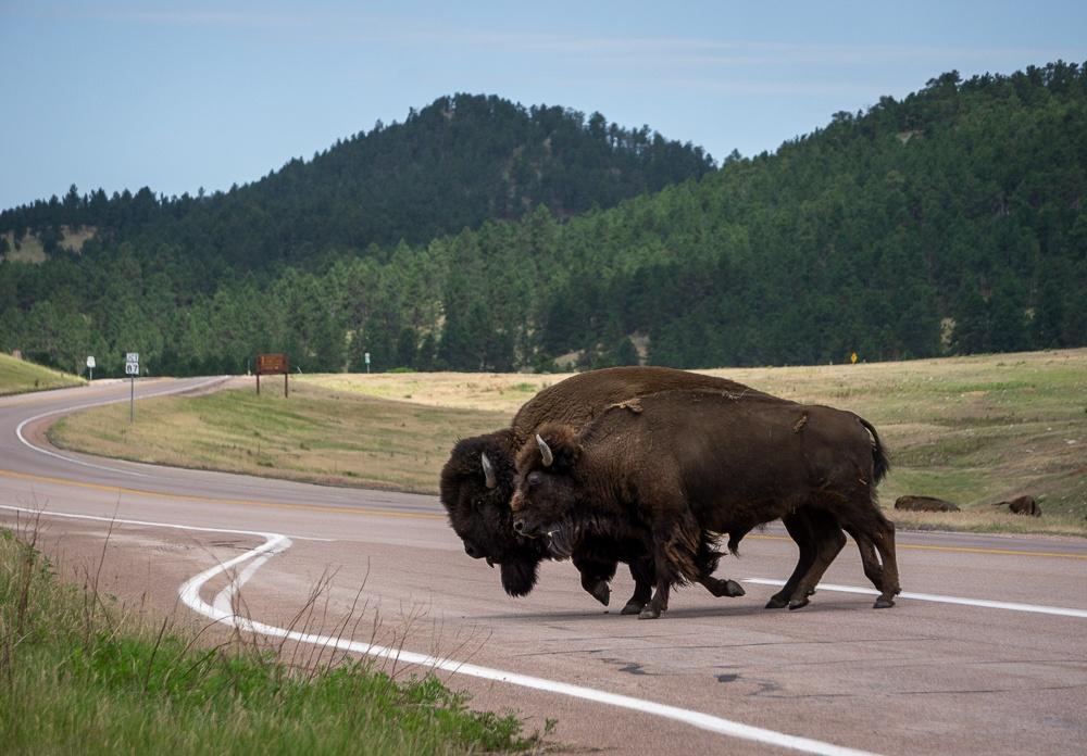 Black Hills South Dakota Bison