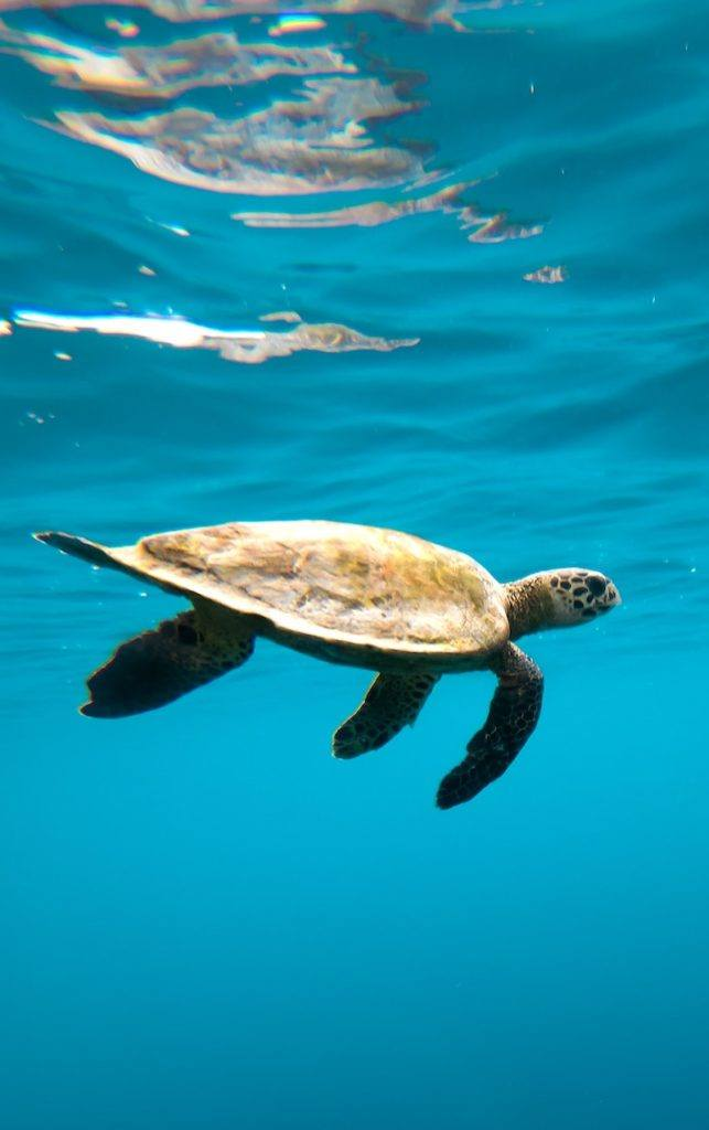 Home.fit sea-turtle-643x1024 23 of Maui's Best Things to Do