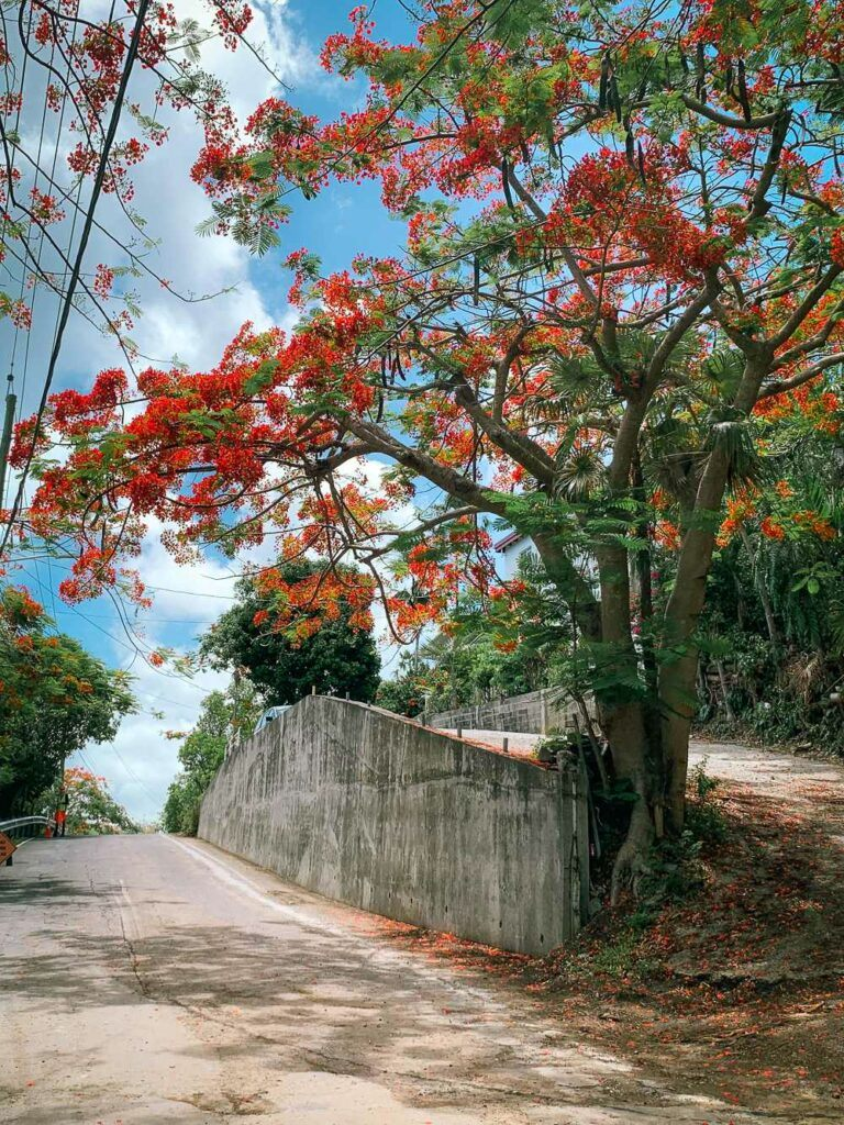 Flamboyant trees in bloom during summer in St Thomas USVI