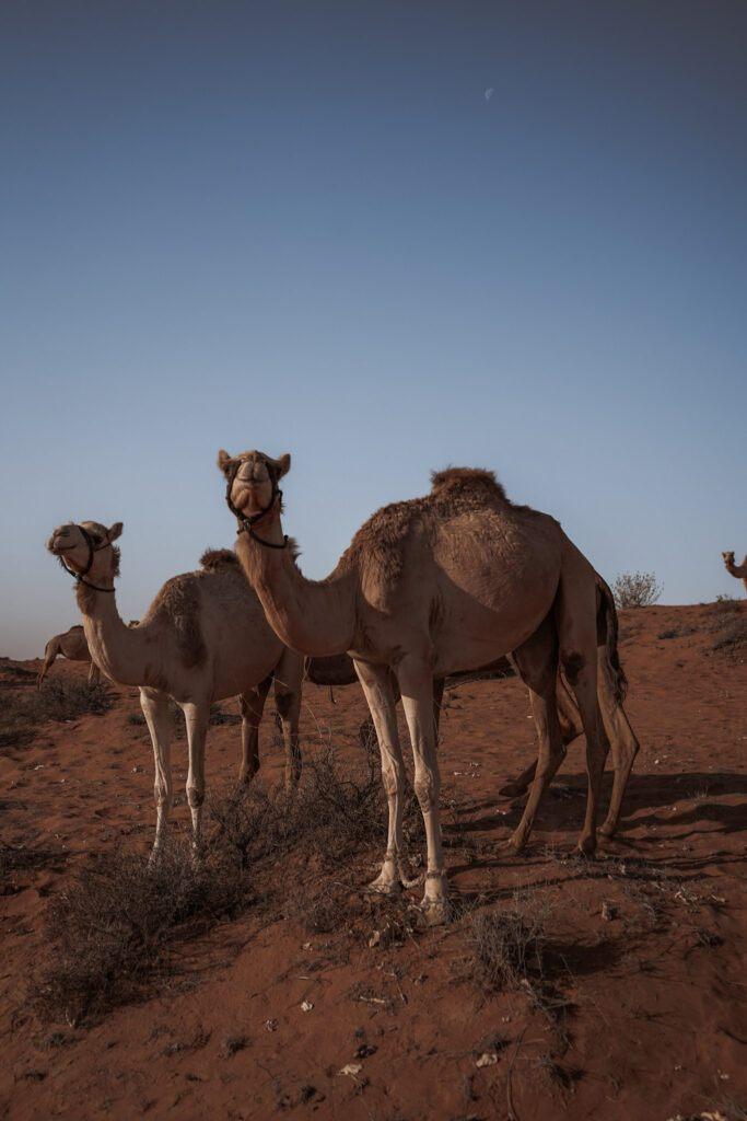 Camels in the Arabian Desert.